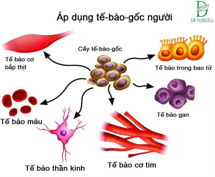 tế bào gốc người